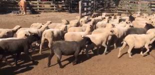 Ovelhas e Borregas
