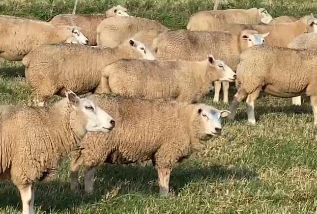 ovelhas prenhe