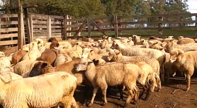 ovelhas prenhe a venda