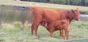 vacas PO